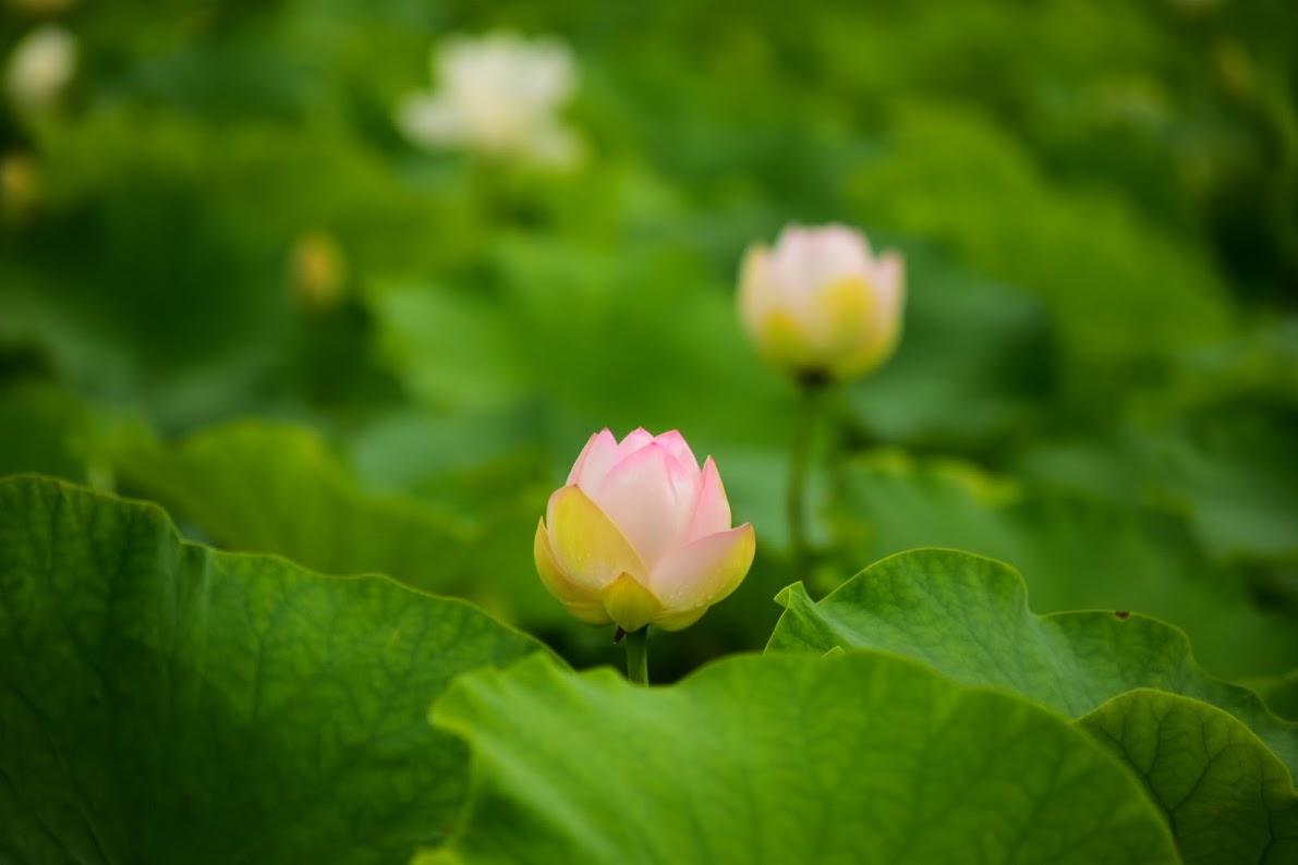 蓮の花が咲いています
