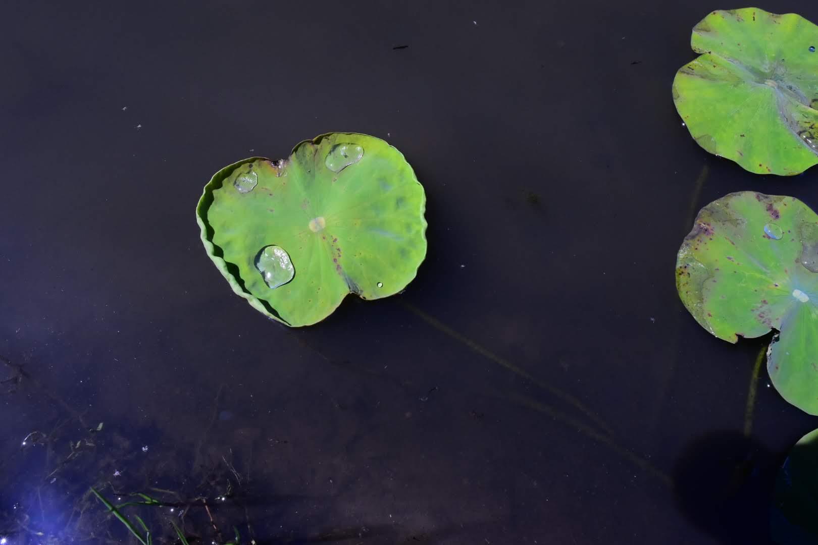 蓮の浮き葉