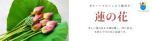 蓮の花の販売開始