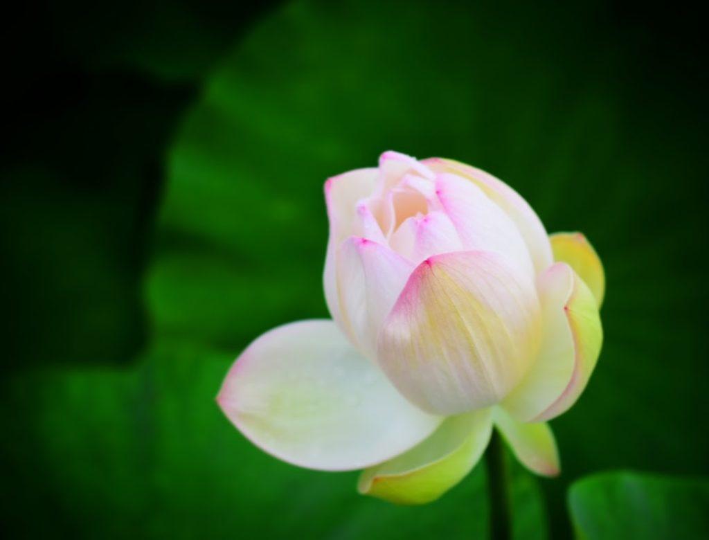 ロータスホワイトの花