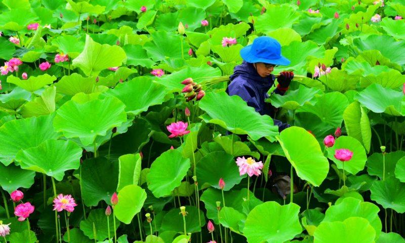 蓮の花の収穫風景