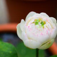 蓮の花(鉢植え)